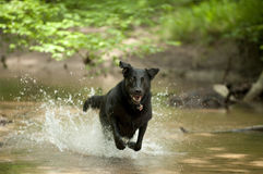 Black Dog (Labrador) running through Water Stock Photo