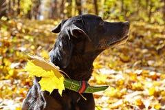 Black dog ( labrador) walking in autumn park. Royalty Free Stock Photos