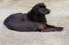 Black dog lay down Royalty Free Stock Photography