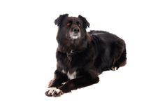A black dog laying down. A black German Shephard / Boarder Collie mix laying down on white Stock Photos