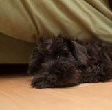 Black dog is laying on the floor Royalty Free Stock Images