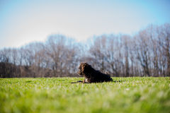 Black dog laying Royalty Free Stock Photography