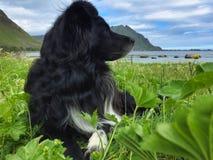 Lofoten Islands dog sitting on the grass royalty free stock image