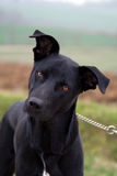 Black Dog on a lead Stock Images