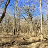 Black dog leads a path through Winter Forest in Chicago, Illinois