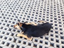 Black dog lie on the cement brick floor Stock Image