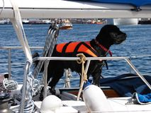 Black dog with life jacket on sail boat. In harbor Bodo, Norway royalty free stock images