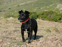 Black dog Stock Photography