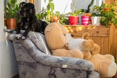 Black dog on living room chair. Black dog enjoys his place at the living room armchair as a chief chair Stock Image