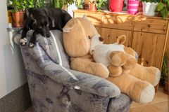 Black dog on living room chair. Black dog enjoys his place at the living room armchair as a chief chair Stock Photo