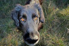 Free Black Dog Looking At The Lens Stock Photography - 133483452