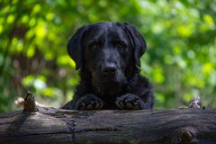 Black dog looking into the camera with front legs on a tree trunk royalty free stock photo