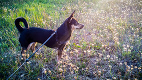 Black dog looking Royalty Free Stock Images
