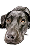 Black dog looking sad Stock Photo
