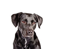 Black dog looking sad III Stock Photography