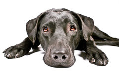 Black dog looking sad IV Stock Photos