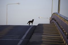 A black dog looking for something on the bridge. With electric pole in the morning Stock Photography