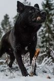 A black dog looking in to the lens. A black dog in snow looking in to the lens Royalty Free Stock Photography