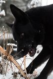 A black dog looking in to the lens. A black dog in snow looking in to the lens Royalty Free Stock Photo
