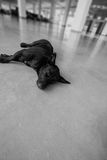 Black dog lying on the cement floor Stock Image