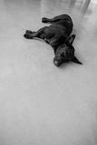 Black dog lying on the cement floor Stock Photography