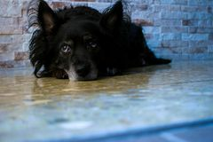 Black dog lying on the ground Royalty Free Stock Photos