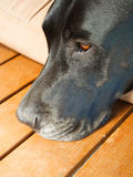 Black dog lying his face on the floor Stock Image