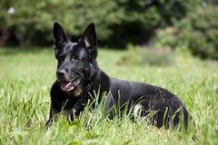 Black dog lying on meadow Stock Photo