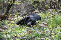 Black dog lying in a park surrounded by shrubs. Big black dog lying in a city park surrounded by shrubs. He is looking right into the camera. Picture was taken stock image