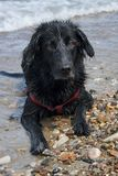 Black dog with wet fur on the pebbles by the sea. stock images