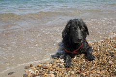Black dog with wet fur on the pebbles by the sea. stock image