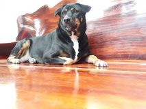 Black dog lying on a wooden floor stock photography