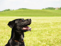 Black dog in the meadow, (6) Stock Image