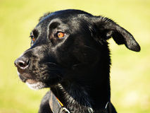 Black dog (2) Royalty Free Stock Photography