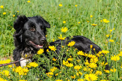 Black dog in a meadow of flowers Royalty Free Stock Photography