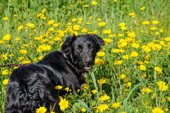 Black dog in a meadow of flowers Stock Images