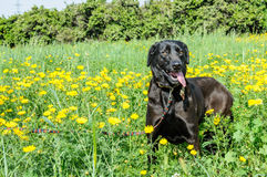 Black dog in a meadow of flowers Royalty Free Stock Photos