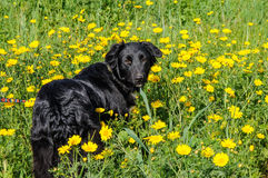 Black dog in a meadow of flowers Stock Photography