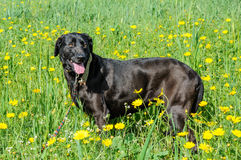 Black dog in a meadow of flowers Royalty Free Stock Photo