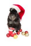 Black dog Miniature Schnauzer in Santa`s hat is waiting for pr Stock Photos