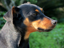 Black dog mutts Stock Images