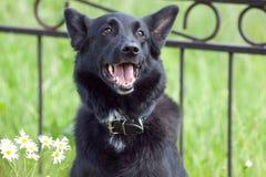 Black dog near the fence Stock Photo