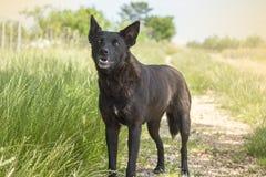Black dog (old dog) dog stands Stock Photography