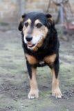 Black dog. Old black and yellow dog Stock Photos