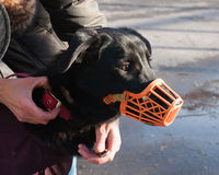 Black dog in orange muzzle Royalty Free Stock Images