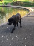 Black dog in the park Stock Photography
