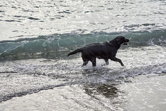black dog play with water on the beach Stock Photo