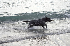 black dog play with water on the beach Stock Image