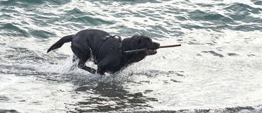 black dog play with water on the beach Royalty Free Stock Images