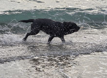 black dog play with water on the beach Royalty Free Stock Image